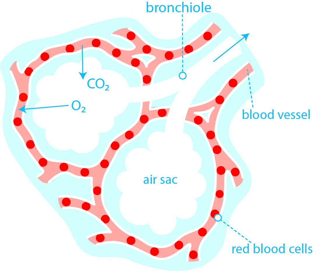 How Does Oxygen Get In The Blood British Lung Foundation