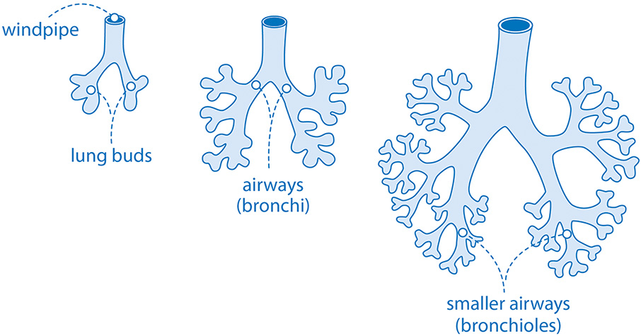 Diagram showing how the lungs' air sacs develop in the womb