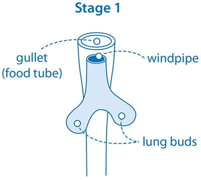 Diagram showing how the lungs develop in the womb