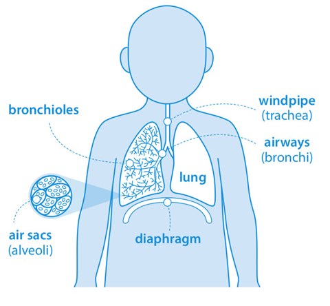 The breathing system, including the air sacs