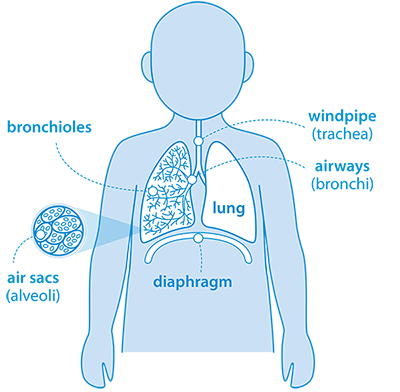 Diagram showing what children's lungs look like at the age of 3