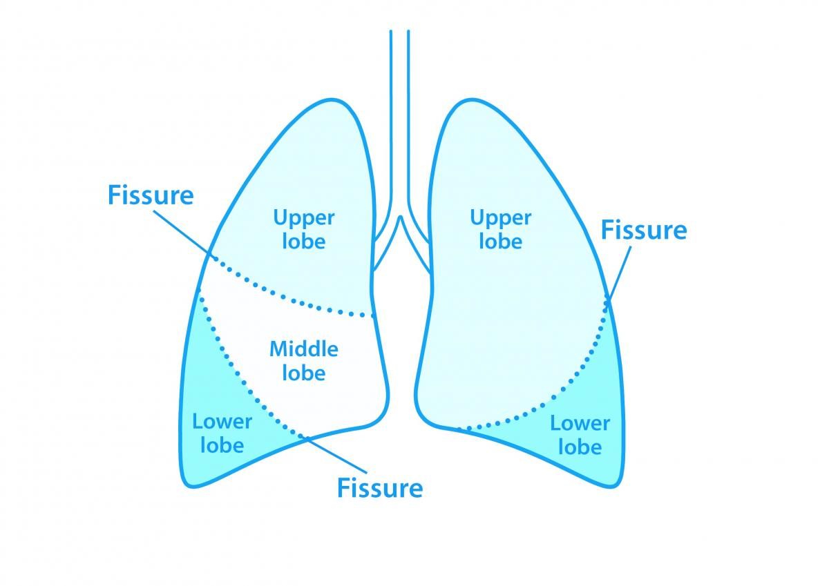 Diagram of lung lobes - British Lung Foundation
