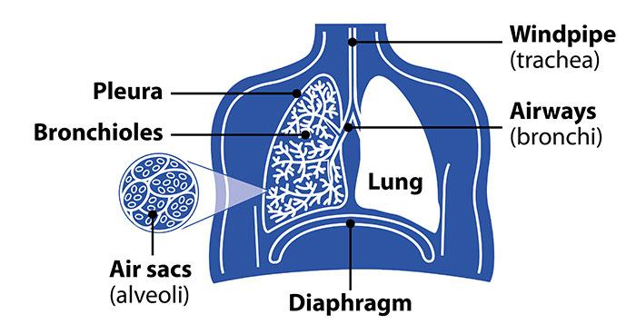 Lungsdiagramairways2016g british lung foundation diagram of the lungs including the airways pleura lining bronchioles and ccuart Gallery