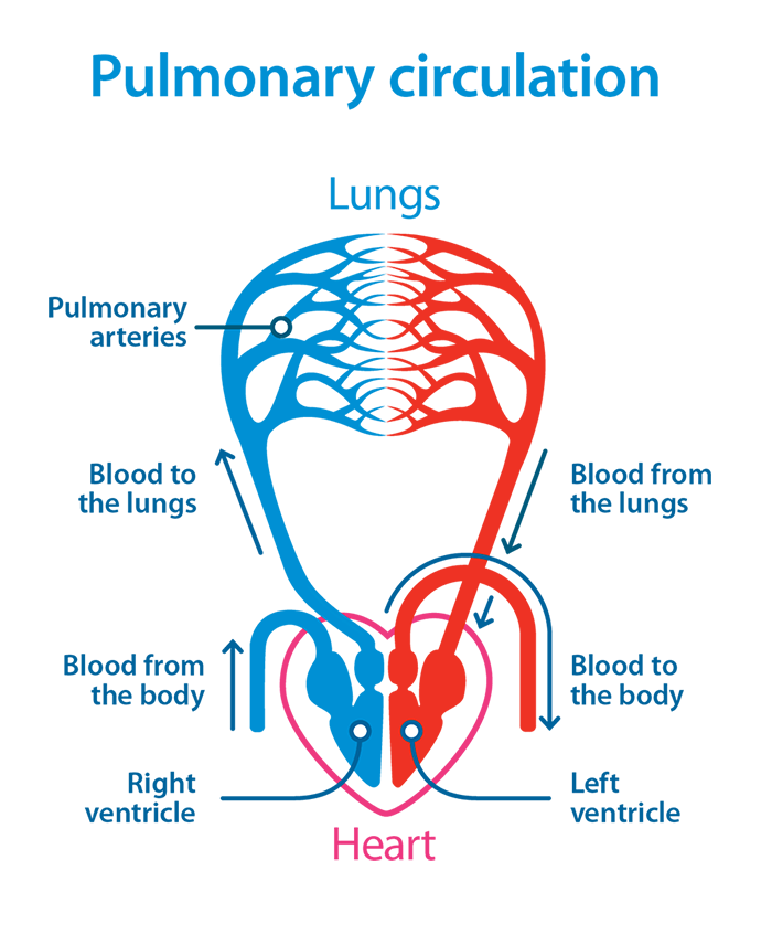 Pulmonary circulation diagram