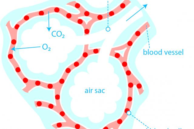 Oxygen and the alveoli