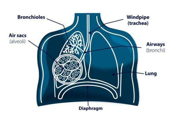 Diagram of the lungs, bronchioles and air sacs